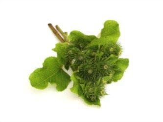 Burdock herb