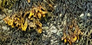 Benefits of Channelled Wrack