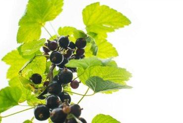 Blackcurrant Seed Oil