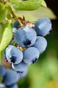 Benefits of Blueberry Seed Oil