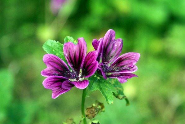 Wild Mallow Flower