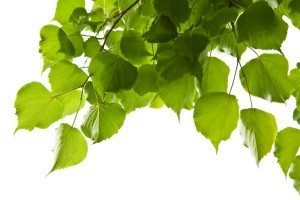 Benefits of Birch Leaf