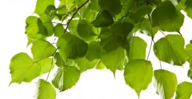 Benefits of Birch Leaf