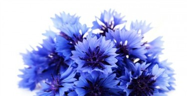Benefits of Cornflower Flower