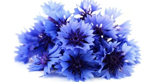 Cornflower Flower 1