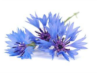 Cornflower Flower 3